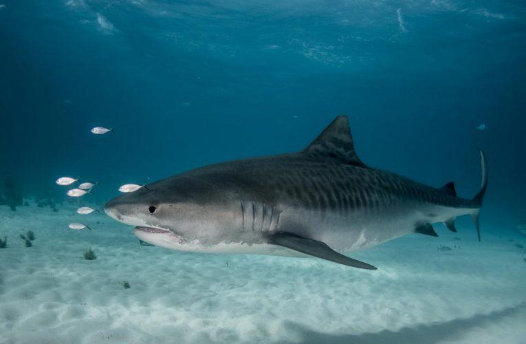 Los tiburones asesinos